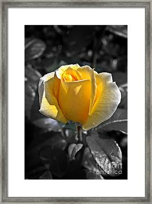 Yellow English Rose Vertical Framed Print by Stephen Clarridge