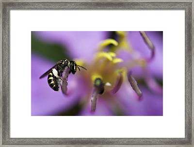 Yellow Faced Bee Framed Print