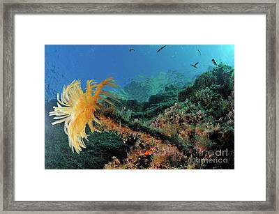 Yellow Feather Duster Worm Framed Print by Sami Sarkis