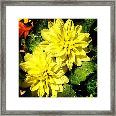 #yellow #flower #petals #closeup Framed Print