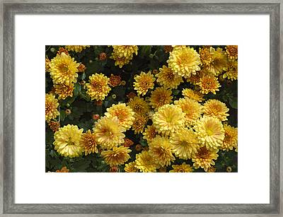 Yellow Flowers Framed Print by Matthias Hauser