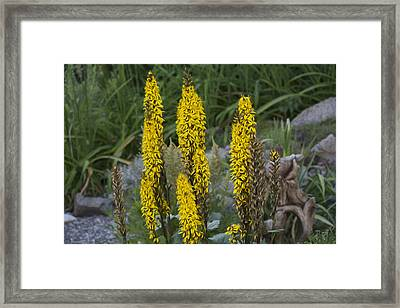 Yellow Flowers Framed Print by Michel DesRoches