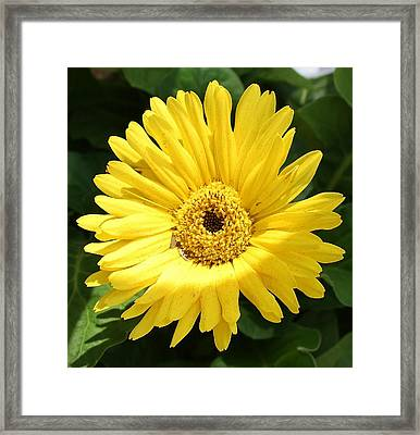 Yellow Gerber Daisy Framed Print by Bruce Bley