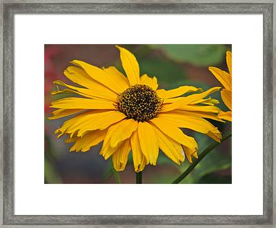 Framed Print featuring the photograph Yellow Gerber Daisy by Eve Spring
