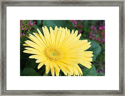 Yellow Gerbera Framed Print by Becky Lodes