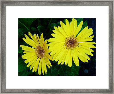 Yellow Gerbers Framed Print by Jeanette Oberholtzer