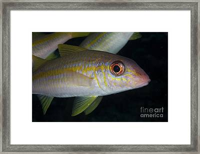 Yellow Goatfish, Bonaire, Caribbean Framed Print by Terry Moore