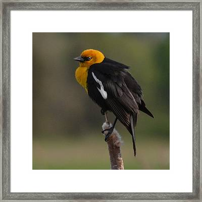 Yellow-headed Blackbird Framed Print by Ansel Price