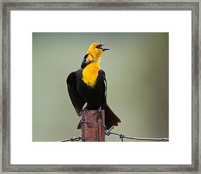 Yellow-headed Blackbird Framed Print by Merle Ann Loman