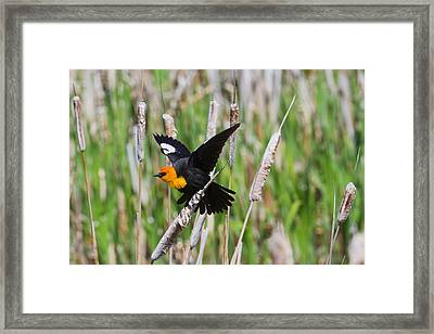 Yellow-headed Blackbird Ready For Take-off Framed Print by Merle Ann Loman