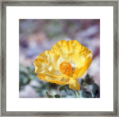 Yellow Horned Poppy  Framed Print