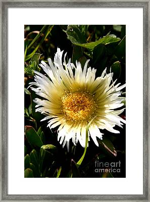 Yellow Ice Plant Flower . Carpobrotus Edulis Succulent . 7d15078 Framed Print by Wingsdomain Art and Photography