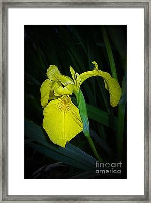Yellow Iris Framed Print by Judi Bagwell