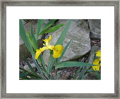 Yellow Iris Framed Print by Suzanne Fenster