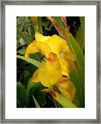 Yellow Iris Tasmania Australia Framed Print by Sandra Sengstock-Miller