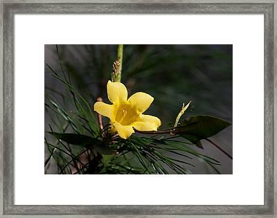 Yellow Jessamine Framed Print by Kenneth Albin