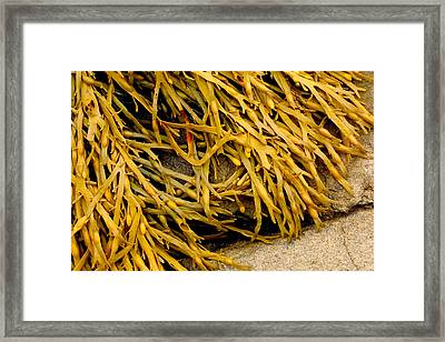 Framed Print featuring the photograph Yellow Kelp by Brent L Ander