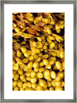 Framed Print featuring the photograph Yellow Kelp Pods by Brent L Ander