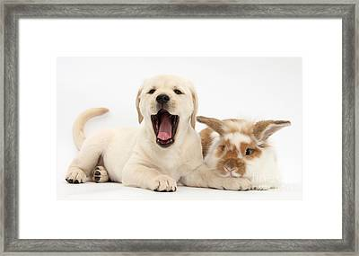 Yellow Lab Puppy With Rabbit Framed Print by Mark Taylor