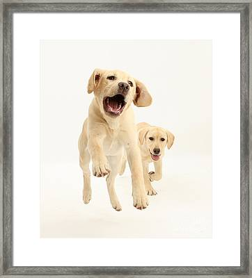 Yellow Labrador Pups Leaping And Running Framed Print