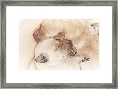 Yellow Labrador Retriever Puppies, Sleeping Framed Print by Uwe Krejci