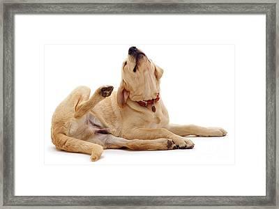 Yellow Labrador Scratching Framed Print by Jane Burton
