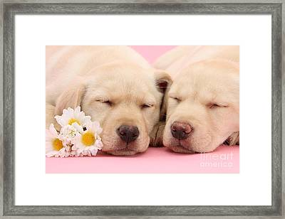 Yellow Labs Sleeping Framed Print by Mark Taylor