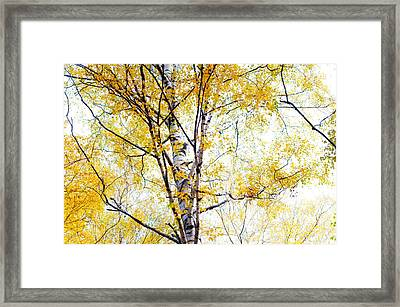 Yellow Lace Of The Birch Foliage  Framed Print by Jenny Rainbow