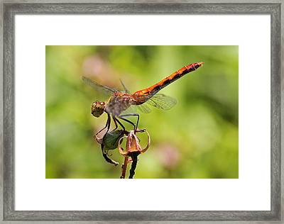 Yellow-legged Meadowhawk  Framed Print by Juergen Roth