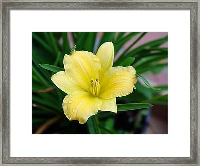 Yellow Lilly Framed Print by Cathie Tyler