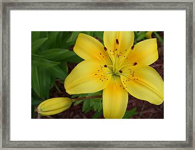 Yellow Lily 1 Framed Print