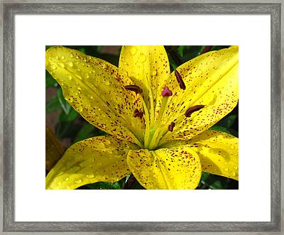 Yellow Lily Framed Print by Christine Hafeman