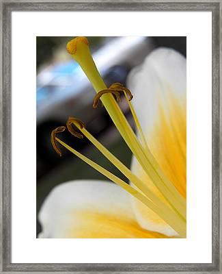 Yellow Lily Focus Framed Print by Corinne Elizabeth Cowherd