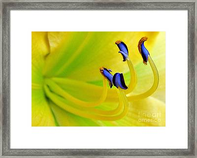 Yellow Lily Framed Print by Judi Bagwell