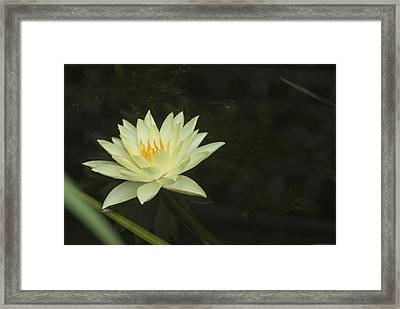 Framed Print featuring the photograph Yellow Lotus by Lisa Missenda