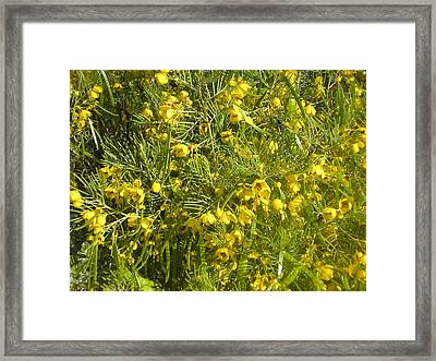 Yellow Mesquite Framed Print