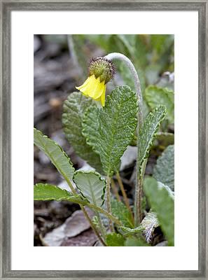 Yellow Mountain-avens (dryas Drummondii) Framed Print