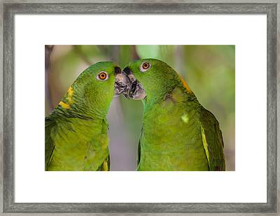 Yellow Naped Parrots Kissing Framed Print by Craig Lapsley