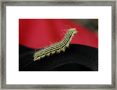 Yellow Necked Caterpillar Framed Print by Lisa Phillips