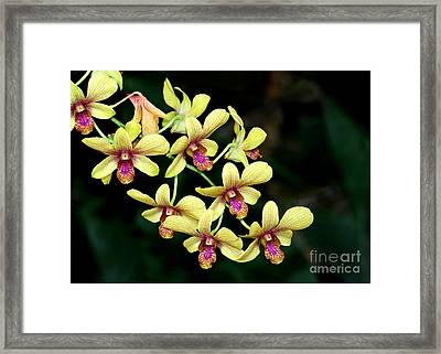 Yellow Orchid Cascade Framed Print by Sabrina L Ryan