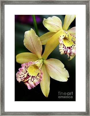 Yellow Orchid Duo Framed Print by Sabrina L Ryan