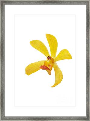 Yellow Orchid Head Framed Print by Atiketta Sangasaeng