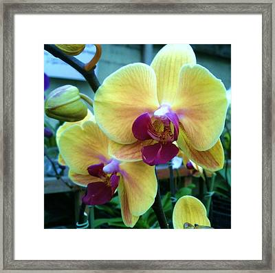 Yellow Orchid In It's Own Glory Framed Print by Shawn Hughes