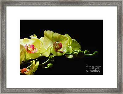 Yellow Orchids Framed Print by Elaine Manley