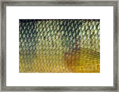 Yellow Perch Perca Flavescens Scales Framed Print