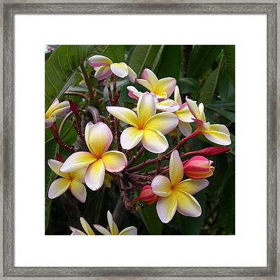 Yellow Plumeria Framed Print by Claude McCoy