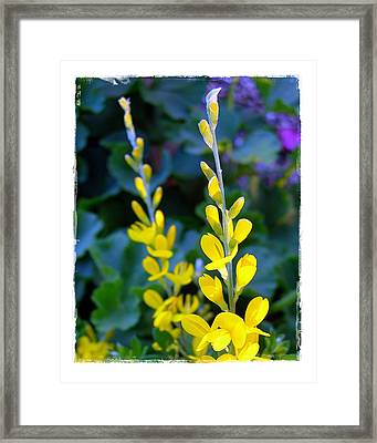 Yellow Plumes Framed Print by Judi Bagwell