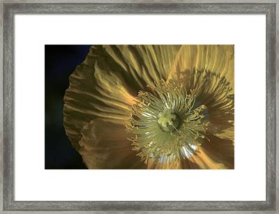 Yellow Poppy Shine Framed Print