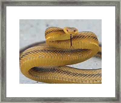 Yellow Rat Snake Framed Print