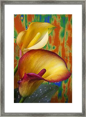 Yellow Red Calla Lilies  Framed Print